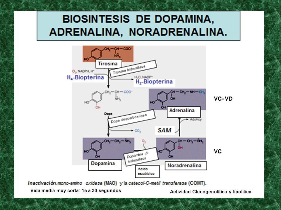 Vida media muy corta: 15 a 30 segundos VC VC- VD Actividad Glucogenolítica y lipolítica
