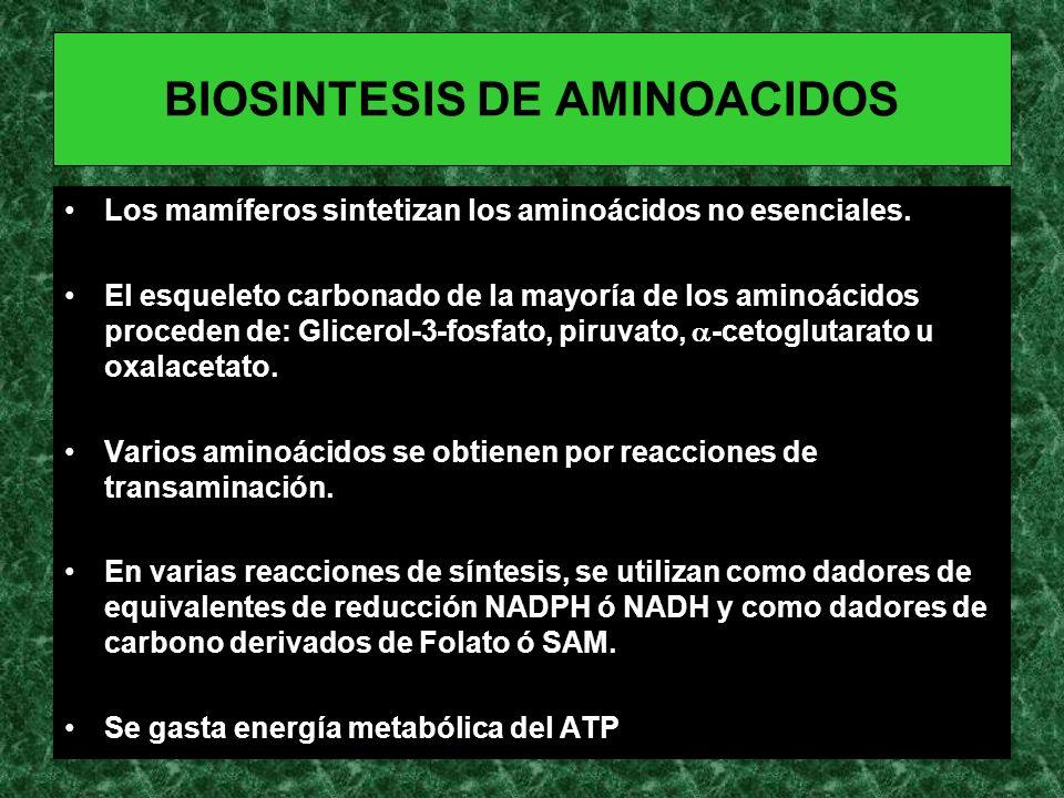 BIOSINTESIS DE AMINOACIDOS Los mamíferos sintetizan los aminoácidos no esenciales. El esqueleto carbonado de la mayoría de los aminoácidos proceden de