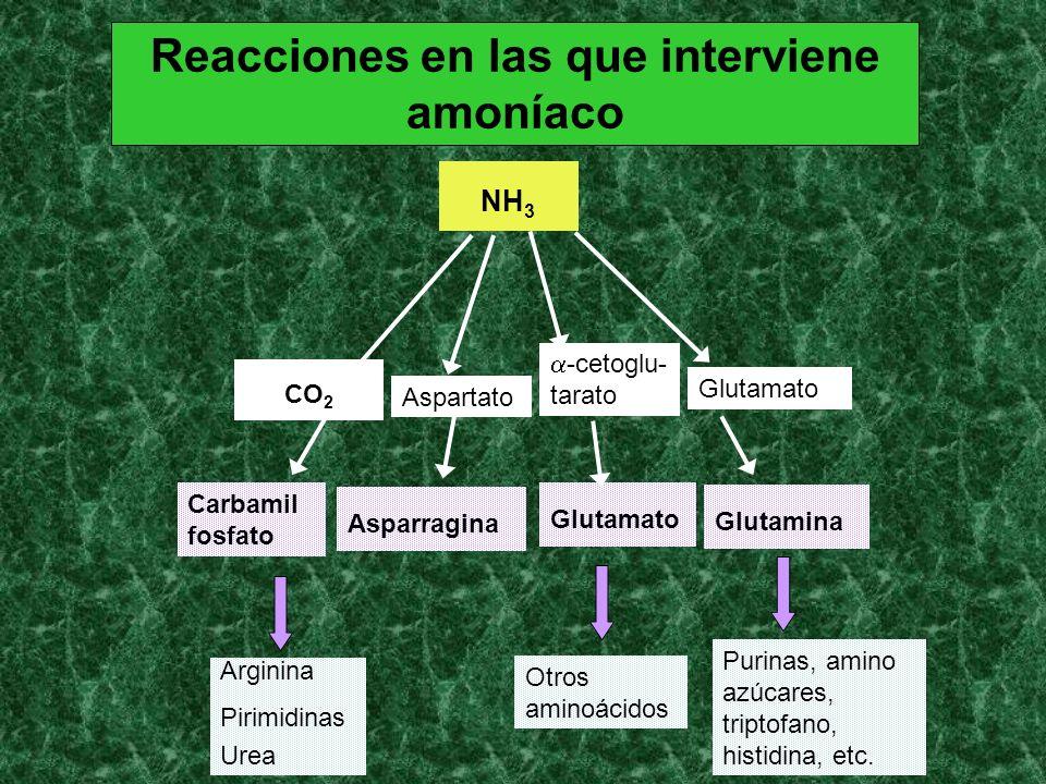 Reacciones en las que interviene amoníaco Aspartato Glutamato -cetoglu- tarato Asparragina Glutamato Glutamina Carbamil fosfato NH 3 CO 2 Arginina Pir