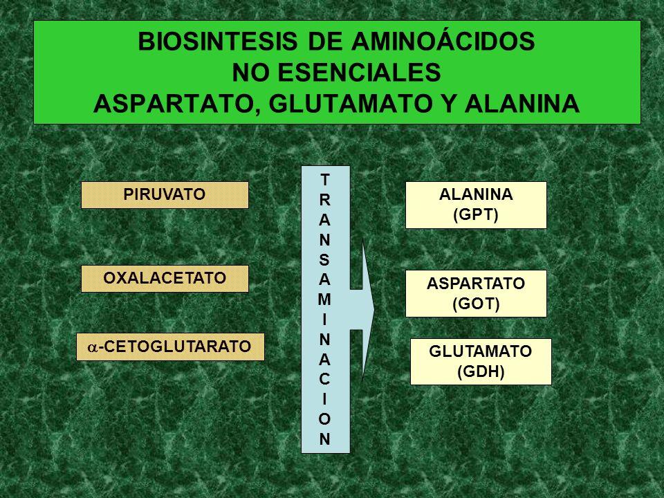 BIOSINTESIS DE AMINOÁCIDOS NO ESENCIALES ASPARTATO, GLUTAMATO Y ALANINA PIRUVATO OXALACETATO -CETOGLUTARATO ALANINA (GPT) ASPARTATO (GOT) GLUTAMATO (G
