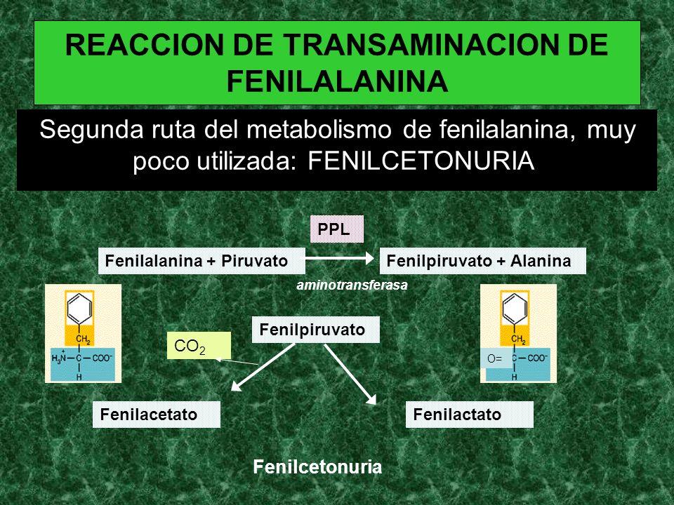 REACCION DE TRANSAMINACION DE FENILALANINA Segunda ruta del metabolismo de fenilalanina, muy poco utilizada: FENILCETONURIA. Fenilalanina + PiruvatoFe