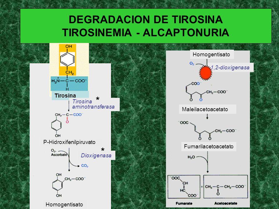 DEGRADACION DE TIROSINA TIROSINEMIA - ALCAPTONURIA Tirosina P-Hidroxifenilpiruvato Homogentisato Maleilacetoacetato Fumarilacetoacetato Tirosina amino
