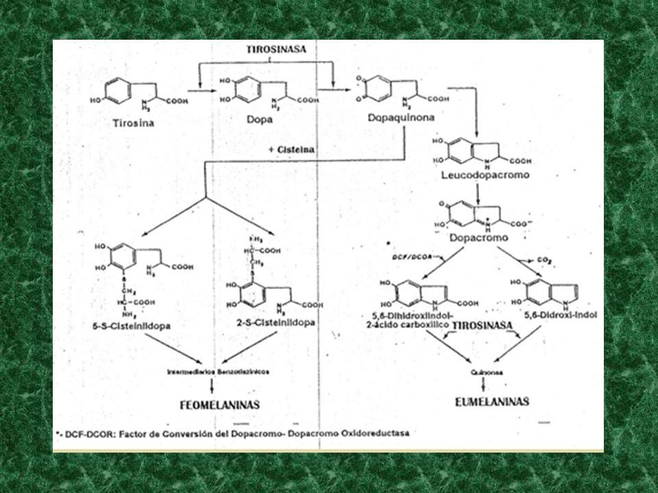 ALBINISMO OCULO-CUTÁNEO MANIFESTACIONES CLÍNICAS: AGUDEZA VISUAL – FOTOFOBIA –NISTAGMUS 1- TIROSINASA (-) 2- TIROSINASA (+) 3- SÍNDROME DE HERMANSKY- PUDLAK 4- SÍNDROME DE CHEDIAK-HIGASHI 5- SÍNDROME DE CROSS 6- ALBINISMO OCULO-CUTÁNEO MARRÓN 7- ALBINISMO OCULO-CUTÁNEO BERMEJO 8- ALBINISMO OCULO-CUTÁNEO AD 9- ALBINISMO NEGRO SENSONEURAL 10- ALBINISMO MUTANTE AMARILLO