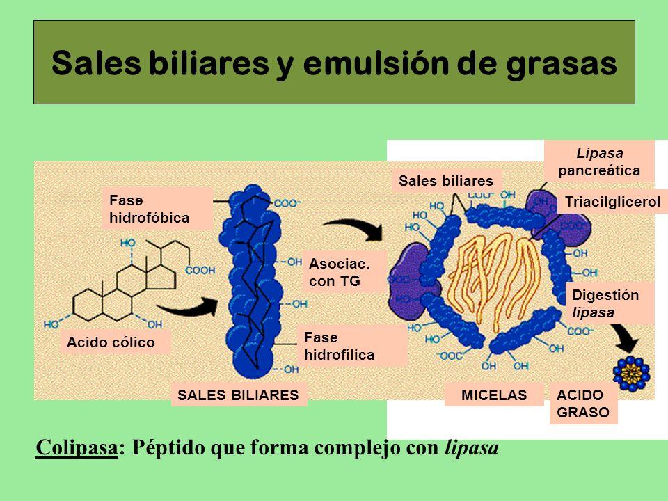 Sales biliares y emulsión de grasas Acido cólico Fase hidrofóbica Fase hidrofílica Asociac. con TG SALES BILIARESMICELAS Sales biliares Lipasa pancreá