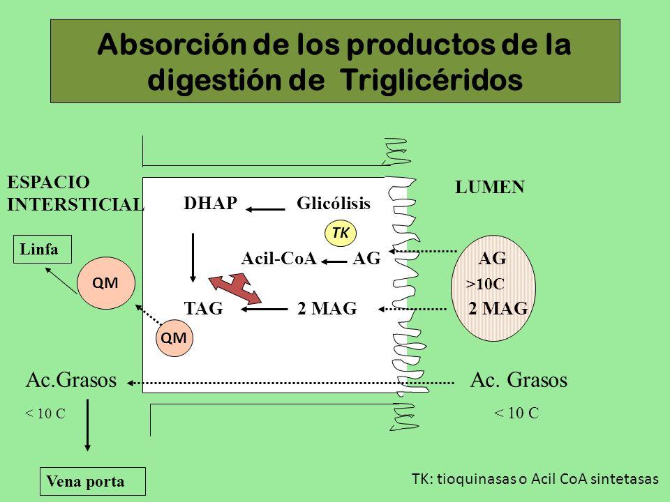 Absorción de los productos de la digestión de Triglicéridos ESPACIO INTERSTICIAL LUMEN DHAP Glicólisis QM Ac.Grasos Ac. Grasos < 10 C Vena porta Linfa