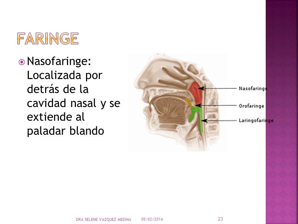 Nasofaringe: Localizada por detrás de la cavidad nasal y se extiende al paladar blando 05/02/2014 23 DRA SELENE VAZQUEZ MEDINA