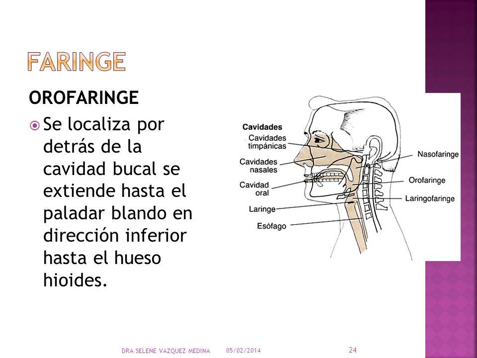OROFARINGE Se localiza por detrás de la cavidad bucal se extiende hasta el paladar blando en dirección inferior hasta el hueso hioides. 05/02/2014 24