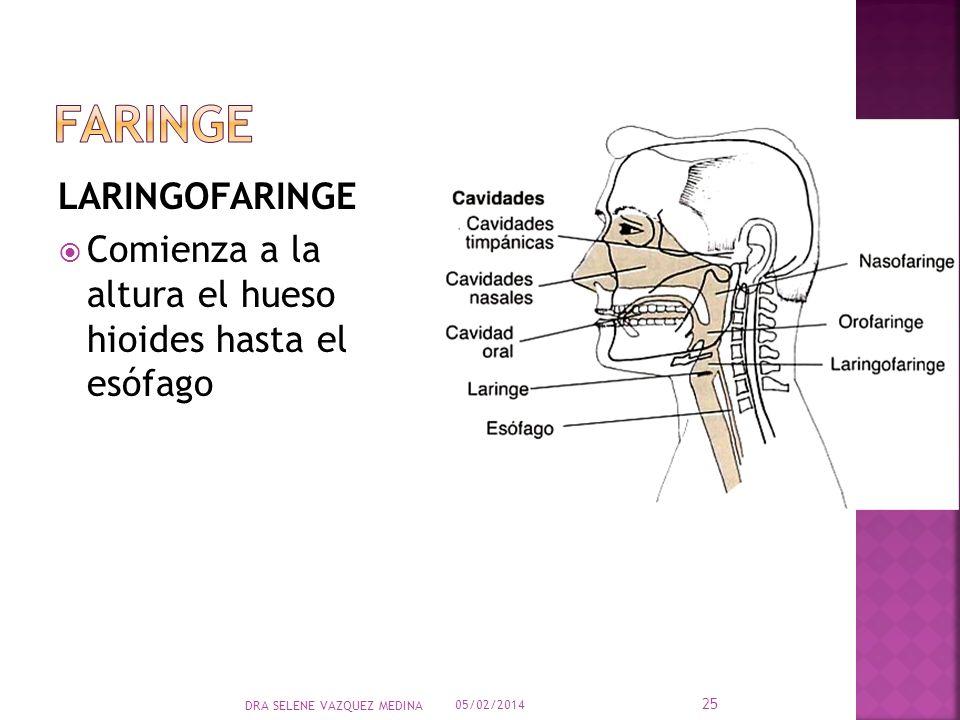 LARINGOFARINGE Comienza a la altura el hueso hioides hasta el esófago 05/02/2014 25 DRA SELENE VAZQUEZ MEDINA