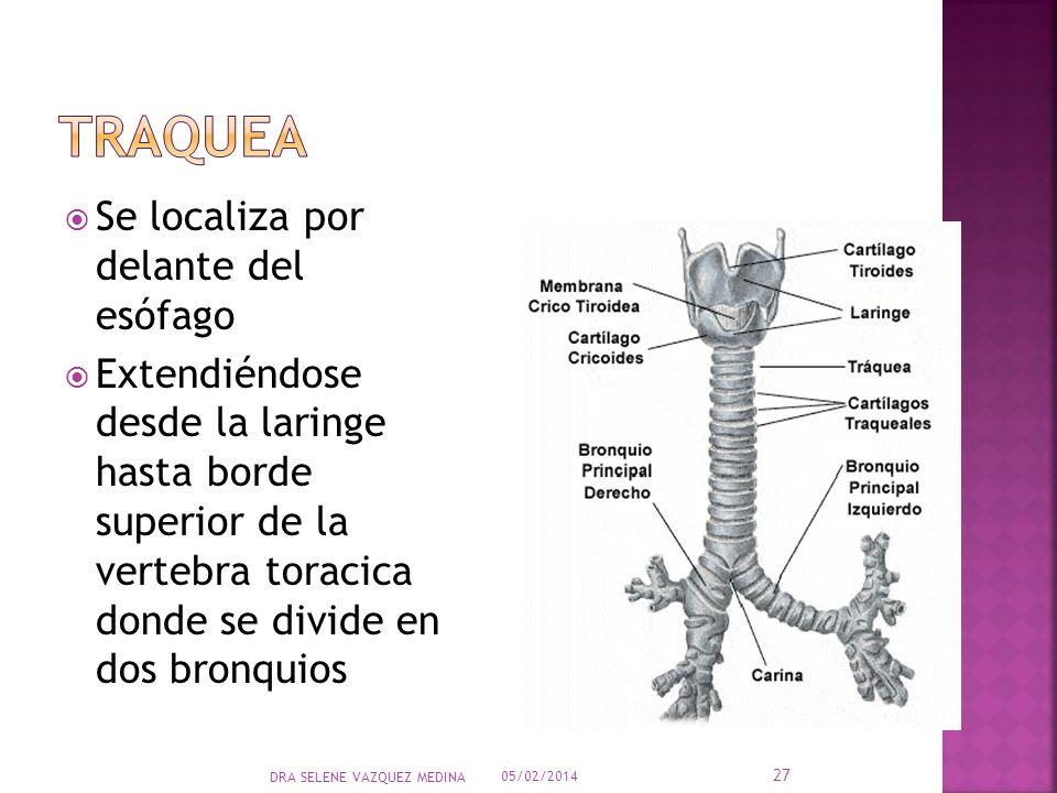 Se localiza por delante del esófago Extendiéndose desde la laringe hasta borde superior de la vertebra toracica donde se divide en dos bronquios 05/02