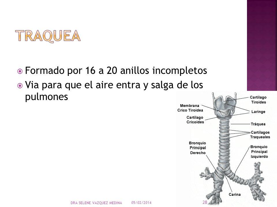 Formado por 16 a 20 anillos incompletos Via para que el aire entra y salga de los pulmones 05/02/2014 28 DRA SELENE VAZQUEZ MEDINA