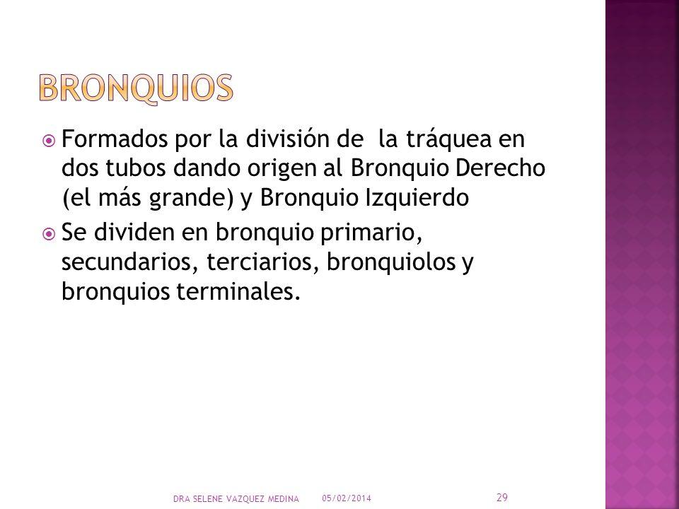 Formados por la división de la tráquea en dos tubos dando origen al Bronquio Derecho (el más grande) y Bronquio Izquierdo Se dividen en bronquio prima