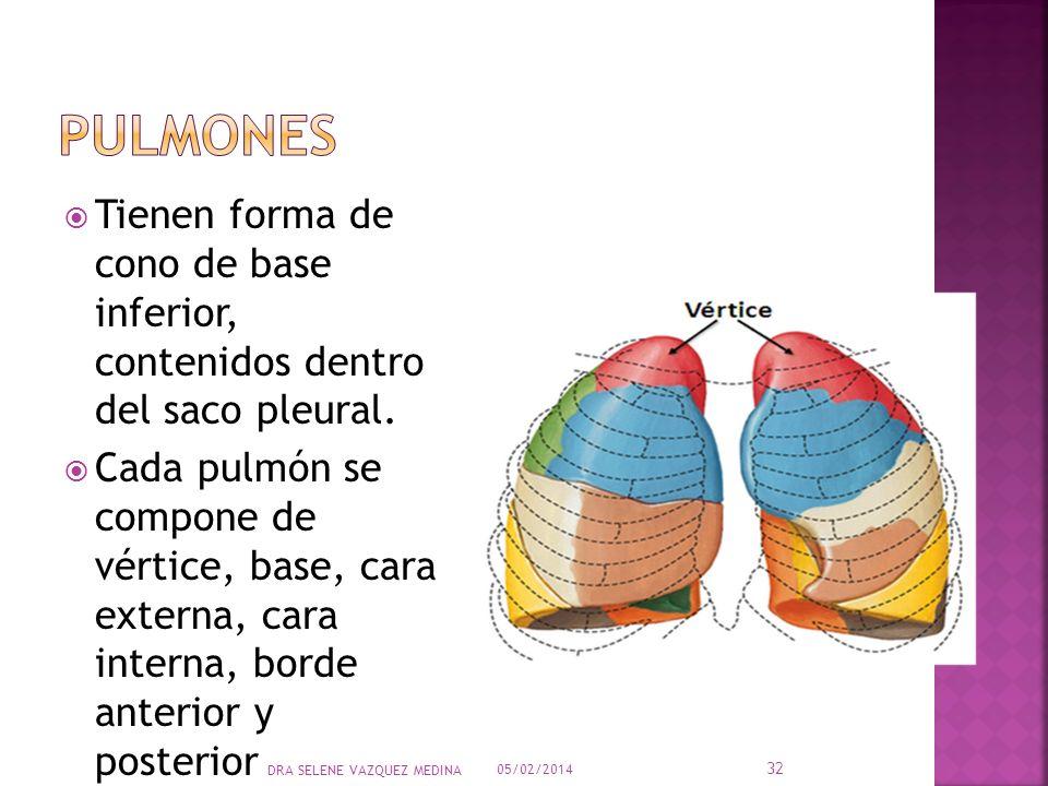 Tienen forma de cono de base inferior, contenidos dentro del saco pleural. Cada pulmón se compone de vértice, base, cara externa, cara interna, borde