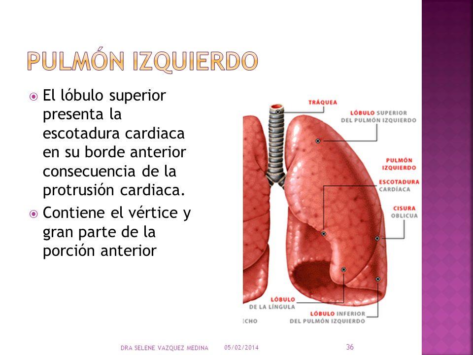 El lóbulo superior presenta la escotadura cardiaca en su borde anterior consecuencia de la protrusión cardiaca. Contiene el vértice y gran parte de la