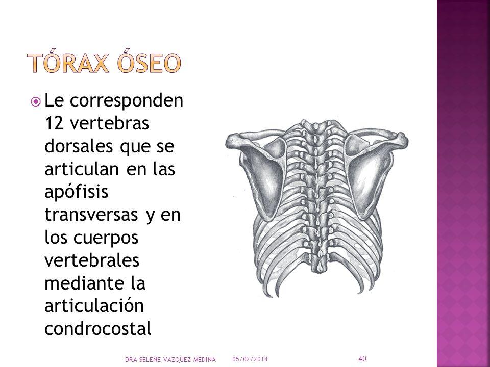 Le corresponden 12 vertebras dorsales que se articulan en las apófisis transversas y en los cuerpos vertebrales mediante la articulación condrocostal