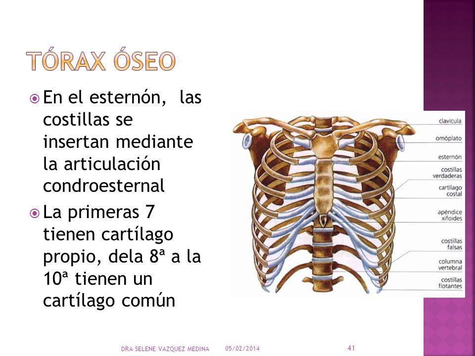 En el esternón, las costillas se insertan mediante la articulación condroesternal La primeras 7 tienen cartílago propio, dela 8ª a la 10ª tienen un ca