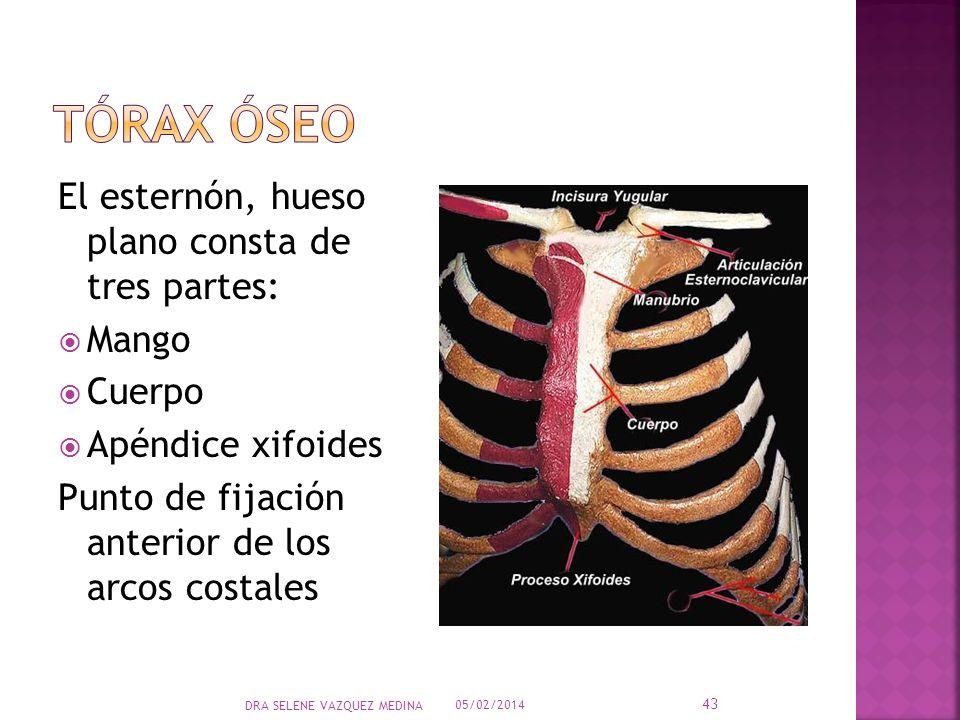 El esternón, hueso plano consta de tres partes: Mango Cuerpo Apéndice xifoides Punto de fijación anterior de los arcos costales 05/02/2014 43 DRA SELE