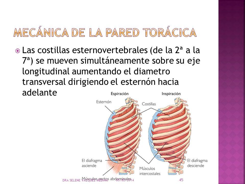Las costillas esternovertebrales (de la 2ª a la 7ª) se mueven simultáneamente sobre su eje longitudinal aumentando el diametro transversal dirigiendo