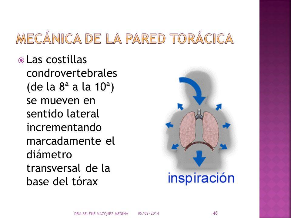 Las costillas condrovertebrales (de la 8ª a la 10ª) se mueven en sentido lateral incrementando marcadamente el diámetro transversal de la base del tór