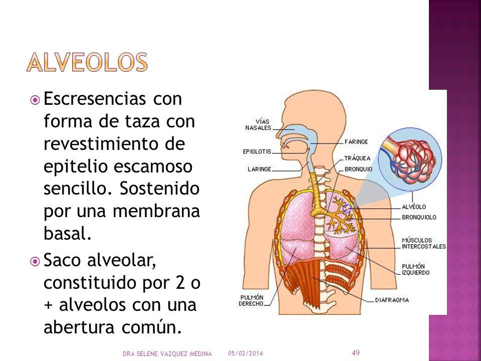 Escresencias con forma de taza con revestimiento de epitelio escamoso sencillo. Sostenido por una membrana basal. Saco alveolar, constituido por 2 o +