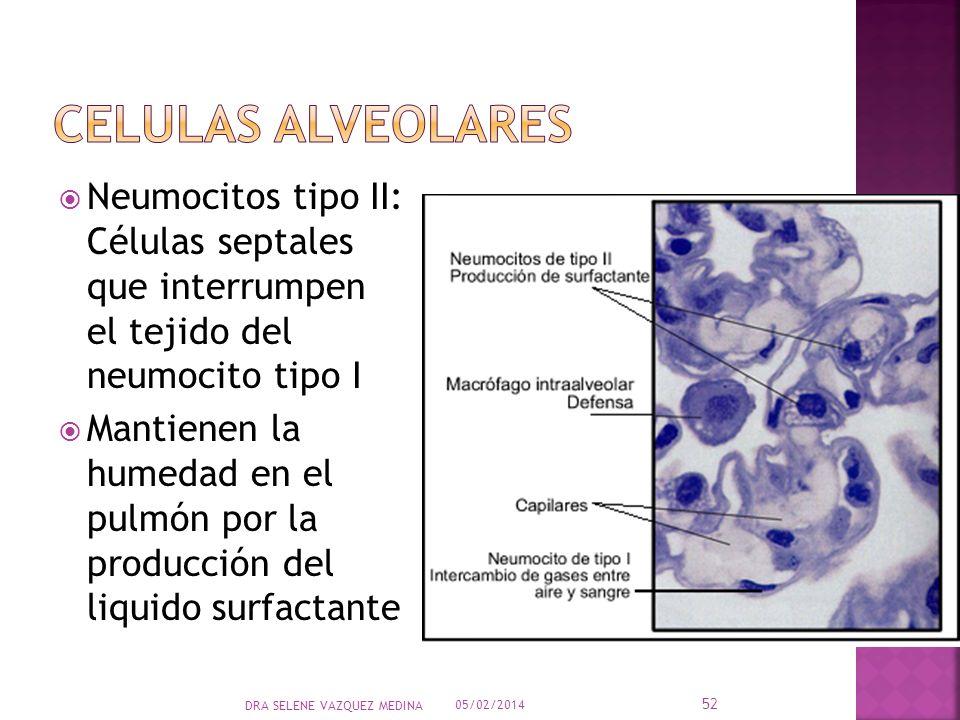 Neumocitos tipo II: Células septales que interrumpen el tejido del neumocito tipo I Mantienen la humedad en el pulmón por la producción del liquido su