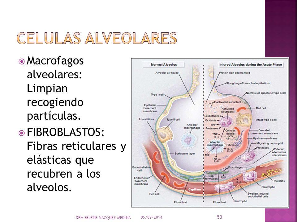 Macrofagos alveolares: Limpian recogiendo partículas. FIBROBLASTOS: Fibras reticulares y elásticas que recubren a los alveolos. 05/02/2014 53 DRA SELE