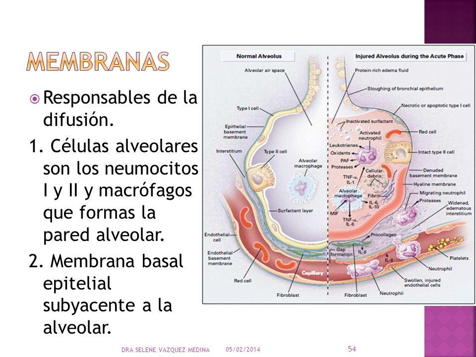 Responsables de la difusión. 1. Células alveolares son los neumocitos I y II y macrófagos que formas la pared alveolar. 2. Membrana basal epitelial su