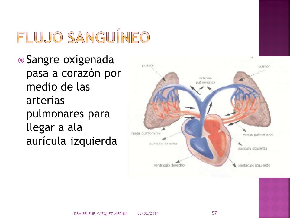 Sangre oxigenada pasa a corazón por medio de las arterias pulmonares para llegar a ala aurícula izquierda 05/02/2014 57 DRA SELENE VAZQUEZ MEDINA