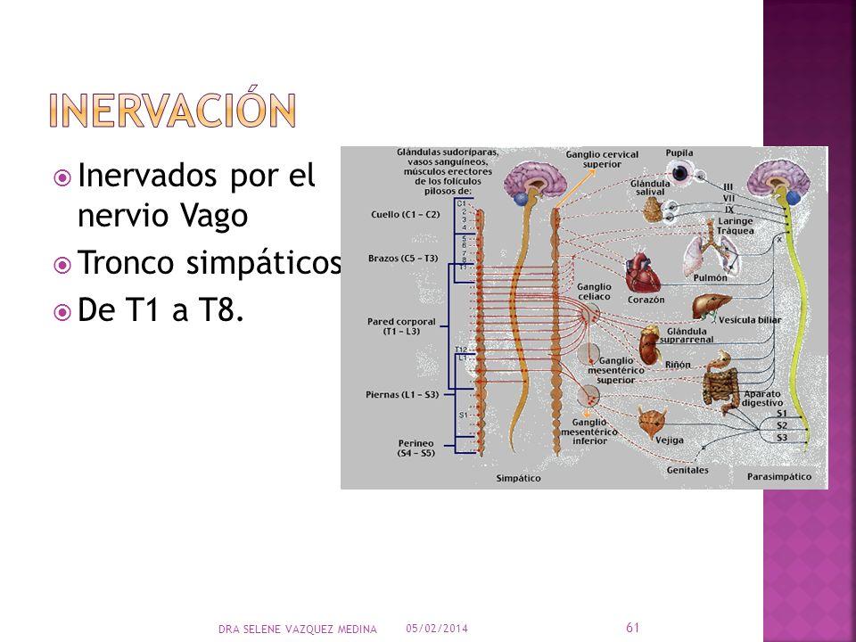 Inervados por el nervio Vago Tronco simpáticos De T1 a T8. 05/02/2014 61 DRA SELENE VAZQUEZ MEDINA