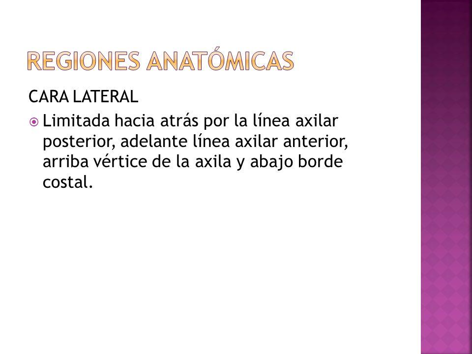 CARA LATERAL Limitada hacia atrás por la línea axilar posterior, adelante línea axilar anterior, arriba vértice de la axila y abajo borde costal.