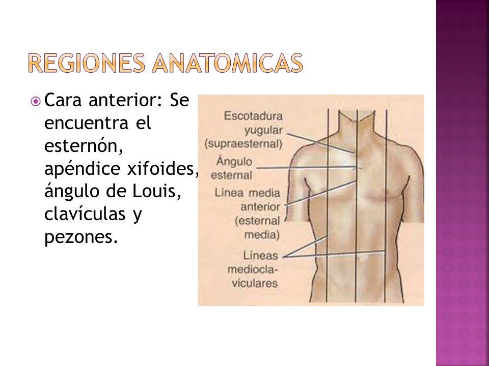 Cara anterior: Se encuentra el esternón, apéndice xifoides, ángulo de Louis, clavículas y pezones.
