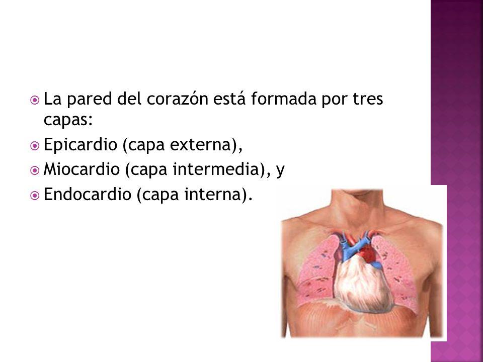 La pared del corazón está formada por tres capas: Epicardio (capa externa), Miocardio (capa intermedia), y Endocardio (capa interna).