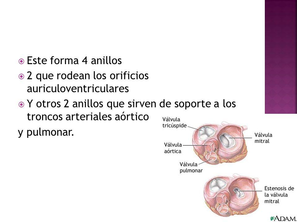 Este forma 4 anillos 2 que rodean los orificios auriculoventriculares Y otros 2 anillos que sirven de soporte a los troncos arteriales aórtico y pulmo