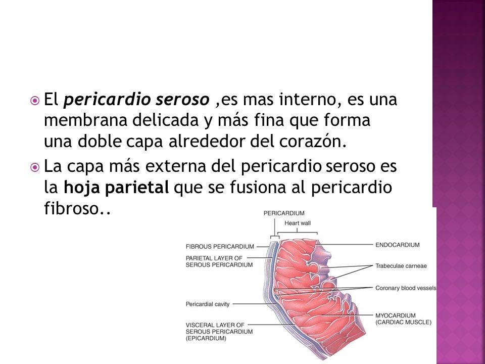 El pericardio seroso,es mas interno, es una membrana delicada y más fina que forma una doble capa alrededor del corazón. La capa más externa del peric