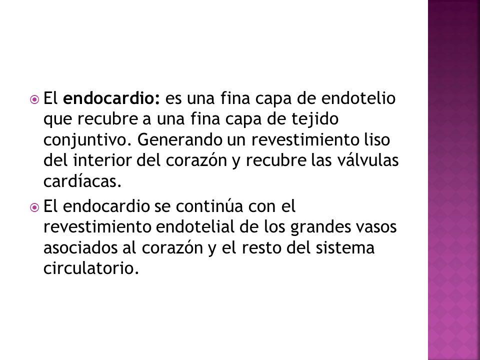El endocardio: es una fina capa de endotelio que recubre a una fina capa de tejido conjuntivo. Generando un revestimiento liso del interior del corazó
