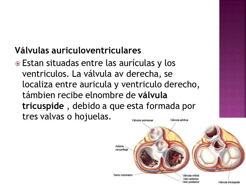 Válvulas auriculoventriculares Estan situadas entre las aurículas y los ventriculos. La válvula av derecha, se localiza entre auricula y ventriculo de