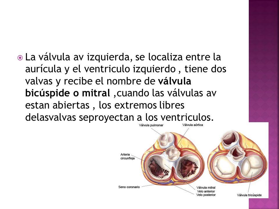 La válvula av izquierda, se localiza entre la aurícula y el ventriculo izquierdo, tiene dos valvas y recibe el nombre de válvula bicúspide o mitral,cu