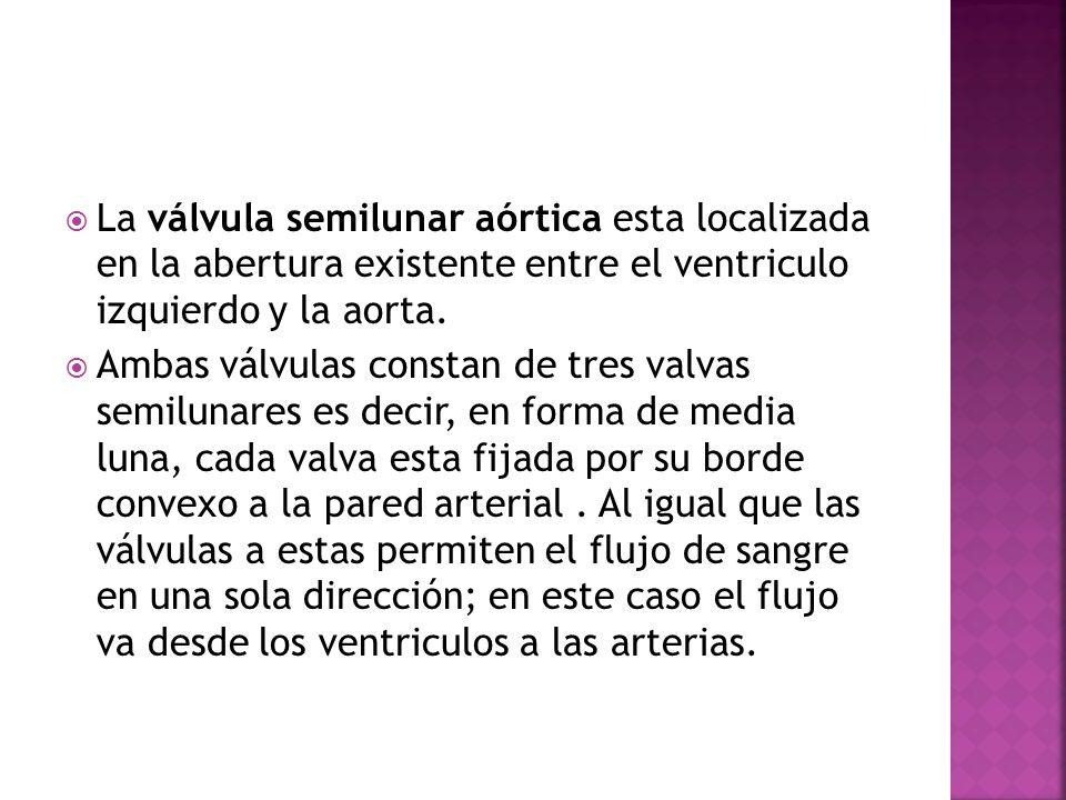 La válvula semilunar aórtica esta localizada en la abertura existente entre el ventriculo izquierdo y la aorta. Ambas válvulas constan de tres valvas