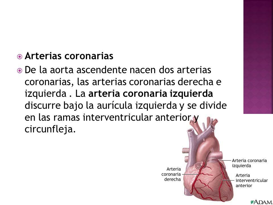 Arterias coronarias De la aorta ascendente nacen dos arterias coronarias, las arterias coronarias derecha e izquierda. La arteria coronaria izquierda