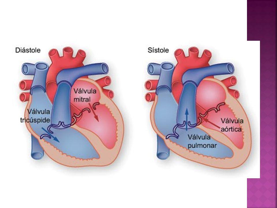 El ciclo cardiaco comprende la secuencia de fenómenos eléctricos y mecánicos que se producen en el corazón durante un latido y los cambios resultantes en la presión, flujo y volumen de las diferentes cavidades cardiacas.
