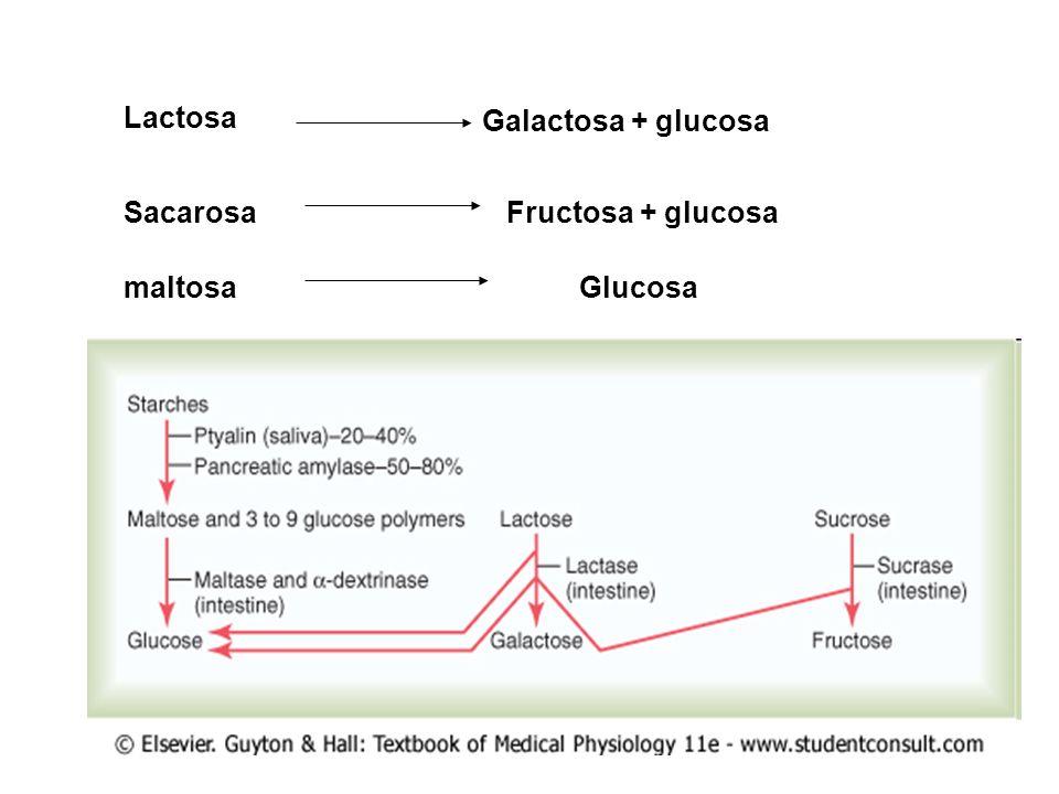 Lactosa Galactosa + glucosa SacarosaFructosa + glucosa maltosaGlucosa