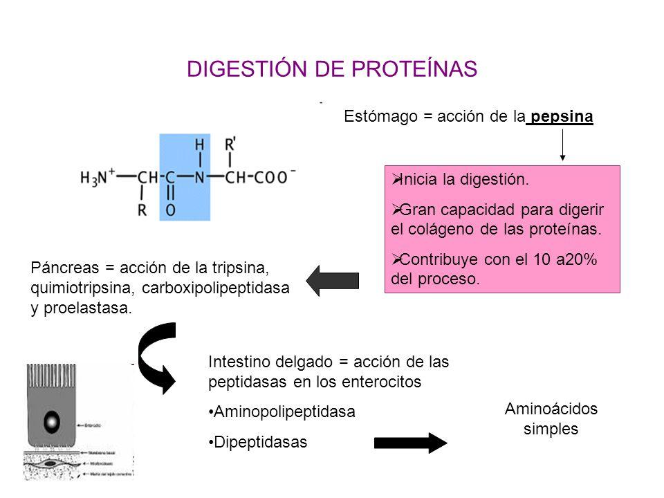 DIGESTIÓN DE PROTEÍNAS Estómago = acción de la pepsina Inicia la digestión. Gran capacidad para digerir el colágeno de las proteínas. Contribuye con e
