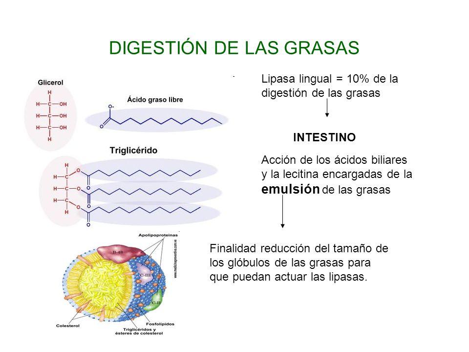 DIGESTIÓN DE LAS GRASAS Lipasa lingual = 10% de la digestión de las grasas INTESTINO Acción de los ácidos biliares y la lecitina encargadas de la emul