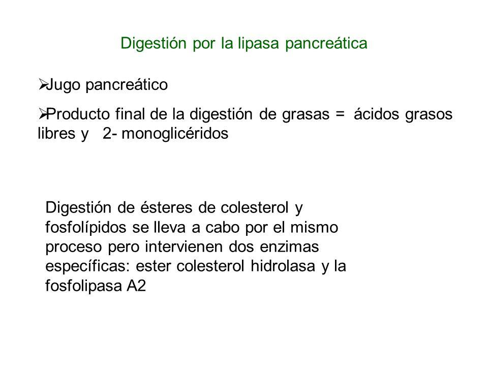 Digestión por la lipasa pancreática Jugo pancreático Producto final de la digestión de grasas = ácidos grasos libres y 2- monoglicéridos Digestión de