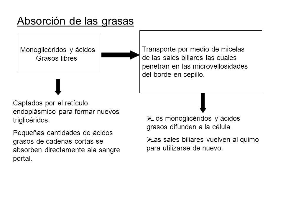Absorción de las grasas Monoglicéridos y ácidos Grasos libres Transporte por medio de micelas de las sales biliares las cuales penetran en las microve