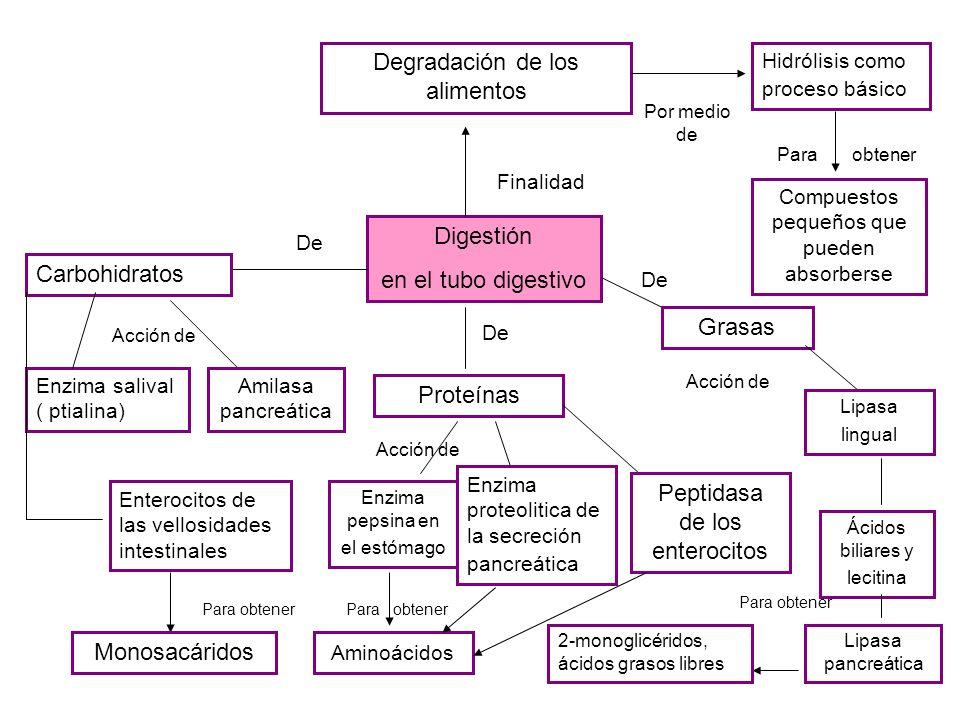 Digestión en el tubo digestivo Finalidad Degradación de los alimentos Por medio de Hidrólisis como proceso básico Compuestos pequeños que pueden absor
