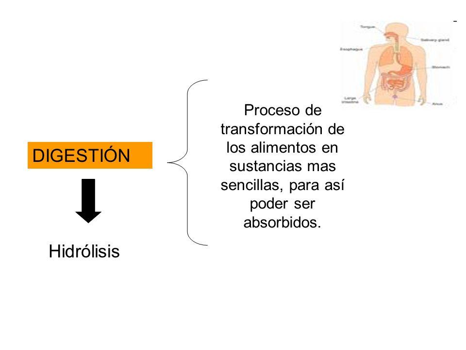 DIGESTIÓN Proceso de transformación de los alimentos en sustancias mas sencillas, para así poder ser absorbidos. Hidrólisis