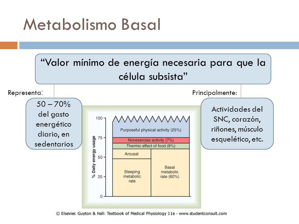 Metabolismo Basal Valor mínimo de energía necesaria para que la célula subsista 50 – 70% del gasto energético diario, en sedentarios Actividades del S