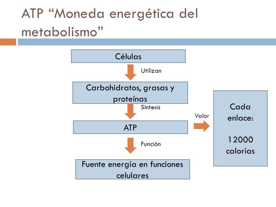 ATP Moneda energética del metabolismo Células Carbohidratos, grasas y proteínas ATP Fuente energía en funciones celulares Cada enlace: 12000 calorías