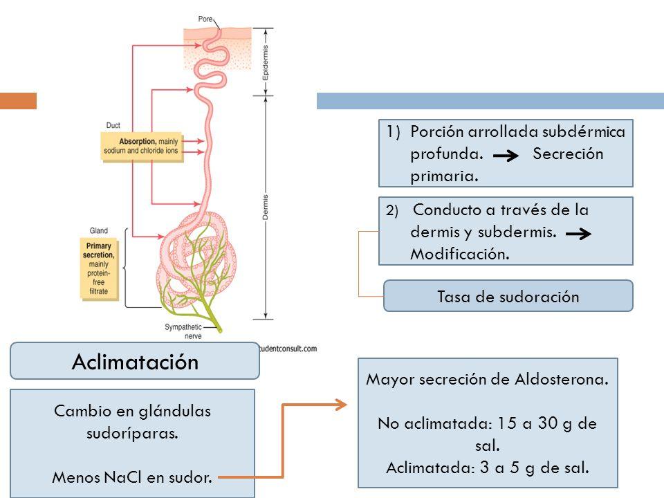 1)Porción arrollada subdérmica profunda. Secreción primaria. 2) Conducto a través de la dermis y subdermis. Modificación. Na+ 142mEq/L Cl- 104mEq/L Si