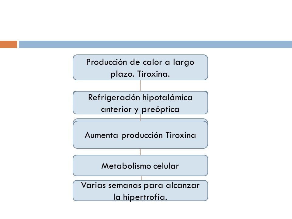 Termogénesis Química Adrenalina y Noradrenalina Libera energía en forma de calor del exceso de nutrientes. Cantidad de grasa parda Producción de calor